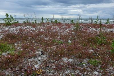 Geranium robertianum, Stinknäva, Geaniaceae, Näveväxter