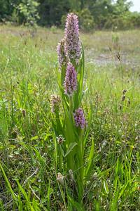 Dactylorhiza incarnata, Ängsnycklar, Orchidaceae, Orkidéer