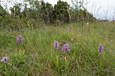 Orchis militaris, Johannesnycklar, Orchidaceae, Orkidéer