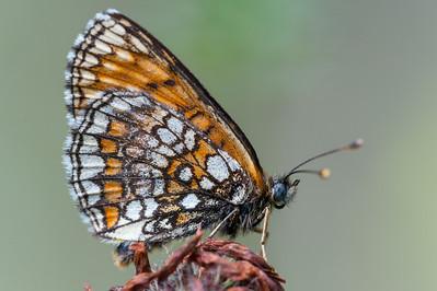 Melitaea athalia, Skogsnätfjäril