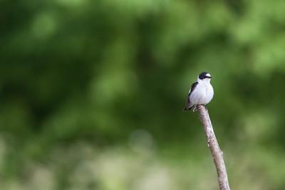 Collared flycatcher, Ficedula albicollis, Halsbandsflugsnappare