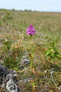 Anacamptis pyramidalis, Salepsrot, Orchidaceae, Orkidéer