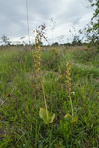 Neottia ovata, Tvåblad, Orchidaceae, Okidéer