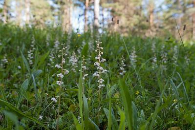 Pyrola rotundifolia, Vitpyrola, Pyrolaceae, Pyrolaväxter