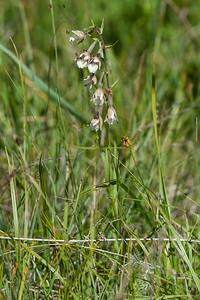 Epipactis palustris, Kärrknipprot, Orchidaceae, Orkidéer