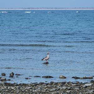 Greylag Goose (Grågås, Anser anser)
