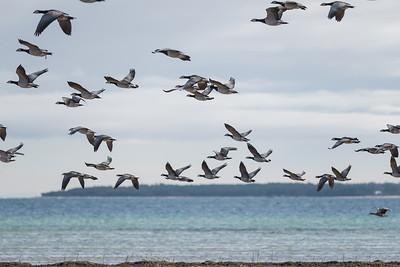 Barnacle Goose (Vitkindad gås, Branta leucopsis)