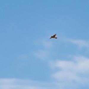 Eurasian Skylark (Sånglärka, Alauda arvensis)