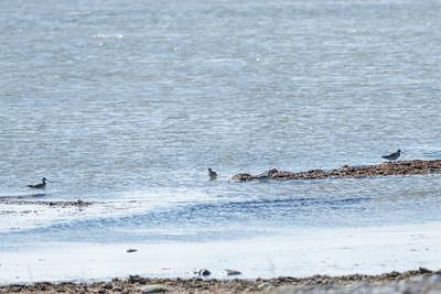 Black-tailed Godwit, Limosa limosa, Rödspov