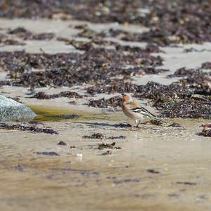 Common Chaffinch, Bofink, Fringilla coelebs