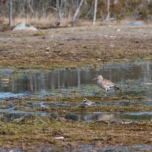 Eurasian Curlew (Storspov, Numenius arquata)