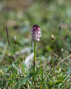 Neotinea ustulata, Krutbrännare, Orchidaceae, Orkidéer