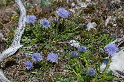 Globularia vulgaris, Berskrabba, Globulariaceae, Bergskrabbeväxter , Plantaginaceae, Grobladsväxter
