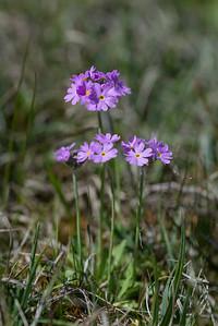 Primula farinosa, Majviva, Primulaceae, Viveväxter