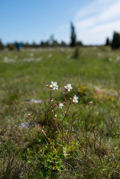 Saxifraga granulata, Mandelblomma, Saxifragaceae, Stenbräckeväxter