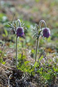 Pulsatill pratensis, Fältsippa, Ranunculaceae, Ranunkelväxter