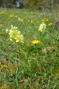 Dactylorhiza sambucina, Adam och Eva,  Orchidaceae, Orkideer