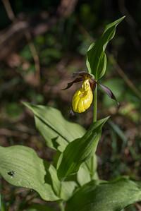 Cyripedium calceolus, Guckosko, Orchidaceae, Orkidéer