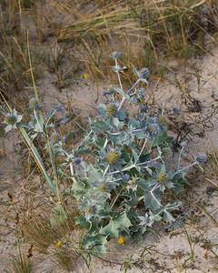 Eryngium maritimum, Martorn, Flockblomstriga, Apiaceae