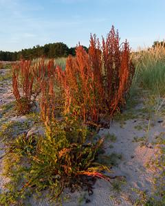 Rumex crispus, Krusskräppa, Polygonaceae, Slideväxter