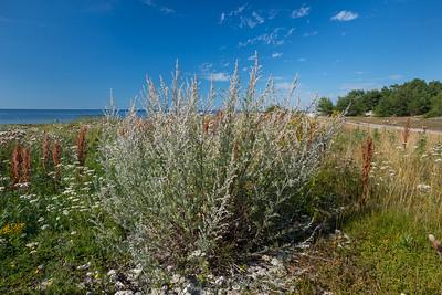 Artemisia vulgaris coarctata, Strandgråbo, Asteraceae, Korgblommiga