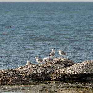 European Herring Gull, Gråtrut, Larus argentatus