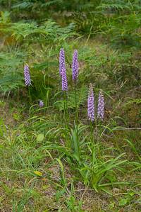 Gymnadenia conopsea densiflora, Praktsporre, Orchidaceae, Orkidéer