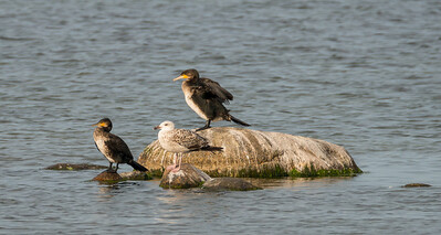 Great Cormorant, Storskarv, Phalacrocorax carbo