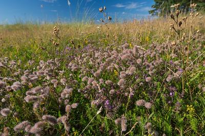 Trifolium arvense, Harklöver, Fabaceae, Ärtväxter