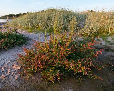 Persicaria lapathifolia lapathifolia, Strandpilört, Polygonaceae, Slideväxter
