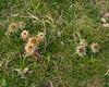 Carlina vulgaris, Spåtistel, Asteraceae, Korgblommiga
