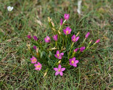 Centaurium littorale, Kustaurun, Gentianaceae, Gentianaväxter