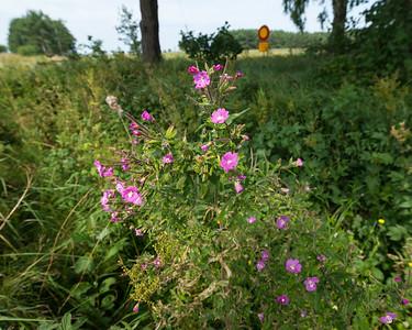 Epilobium hirsutum, Rosendunört, Onagraceae, Dunörtväxter