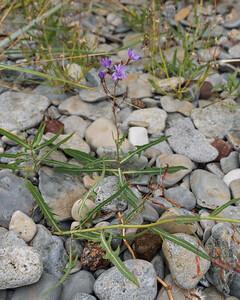 Lactuca tatarica, Mulgedium tataricum, Sandsallat, Asteraceae, Korgblommiga