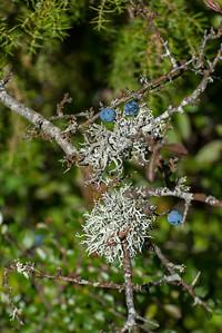 Prunus spinosa, Slån, Rosaceae, Rosväxter