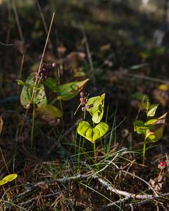 Maianthemum bifolium, Ekorrbär, Convalliariaceae, Konvaljväxter