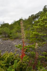 Chamaenerion angustifolium, Epilobium agustifolium, Mjölkört, Onagraceae, Dunörtsväxter