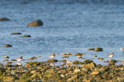 Common ringed plover, Charadrius hiaticula, Större strandpipare