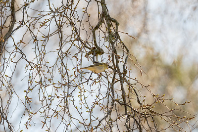 Willow Warbler, Phylloscopus trochilus, Lövsångare