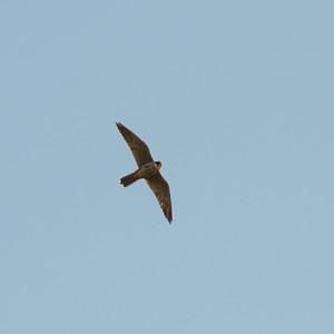 Eurasian Hobby, Falco subbuteo, Lärkfalk