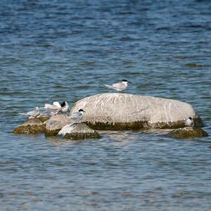 Sandwich Tern, Sterna sandvicensis, Kentsk tärna