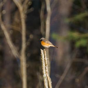 Common Redstart, Phoenicurus phoenicurus, Rödstjärt