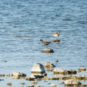 Spotted Redshank, Tringa erythropus, Svartsnäppa