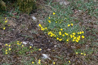 Potentilla tabernaemontani subarenaria, Grå småfingerört, Rosaceae, Rosväxter