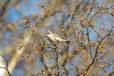 Lesser Whitethroat, Sylvia curruca, Ärtsångare