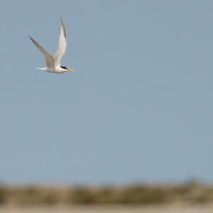 Little Tern, Sternula albifrons, Småtärna