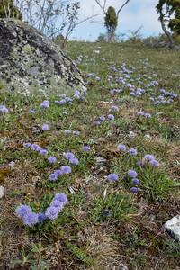 Globularia vulgaris, Bergskrabba, Globulariaceae, Bergskrabbeväxter , Plantaginaceae, Grobladsväxter