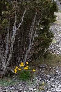 Taraxacum, Maskros, Asteraceae, Korgblommiga