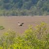 Western Marsh Harrier, Circus aeruginosus, Brun kärrhök