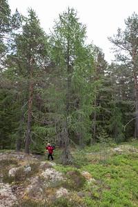 Larix decidua, Europeisk lärk, Pinaceae, Tallväxter